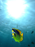Racoon butterfly fish Royalty Free Stock Photo