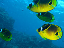 Racoon Butterfly Fish Stock Images