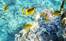 Racoon butterfly fish underwater coral reef Stock Photos