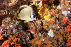 Racoon Butterflyfish Stock Image