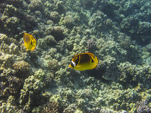 Racoon butterflyfish Royalty Free Stock Photo