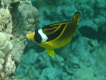 Racoon Butterflyfish (kikakapu) Lizenzfreies Stockbild
