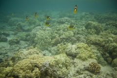 Racoon Butterflyfishes Royalty Free Stock Photography