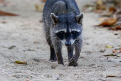 A racoon in the Cahuita National Park. South Africa Royalty Free Stock Photo