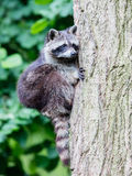 Racoon climbing a tree Stock Photography