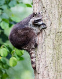 Racoon climbing a tree Royalty Free Stock Photography