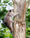 Racoon climbing a tree Stock Photos