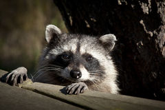 Racoon Close up. Close up portrait of a racoon Stock Photo
