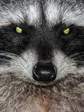 Racoon. Close up of a raccoon Royalty Free Stock Photos