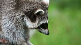 Racoon close up. Racoon in close up on tree stock video footage