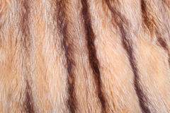 Racoon coat Stock Photo