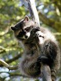 Racoon curioso en un árbol Fotografía de archivo