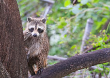 Racoon Cuteness Overload Royalty Free Stock Photography