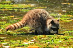 Raccoon, Procyon lotor, digging for Clams in Shallow Water at Princess Margaret Island, Gulf Islands National Park, B.C. A racoon is digging through the seaweed stock images