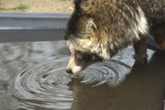 Racoon Dog Stock Image