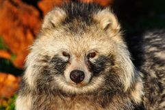 Racoon Dog Royalty Free Stock Photo