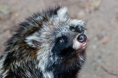 Racoon dog Stock Images
