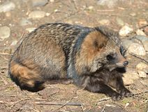 Racoon dog Nyctereutes procyoides stock image