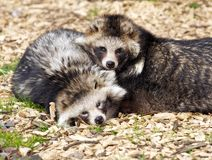 Racoon Dogs. Resting in the heat of the day Stock Photos
