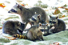Racoon e cubs della madre Fotografie Stock Libere da Diritti