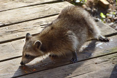 Racoon Eating stock photo