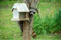 Racoon en alimentador del pájaro Imagen de archivo