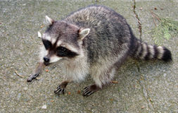 Racoon errant Image stock