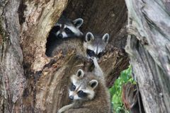Racoon family playing together Royalty Free Stock Images