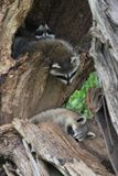 Racoon family taking a nap royalty free stock photos