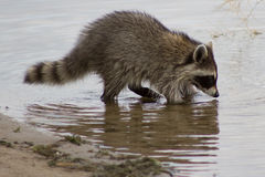 Racoon foraging for food. In water near shore Royalty Free Stock Photography