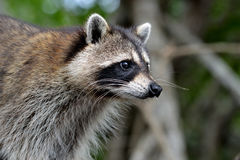 Racoon in the forest. North American racoon Procyon lotor in the mixed forest, United States Royalty Free Stock Photo