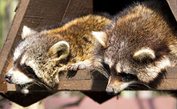Racoon. Funny sleeping racoon couple, wooden tree house Stock Photography