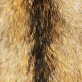 Racoon fur stock image