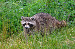 Racoon. On the grass in Canada Stock Photos