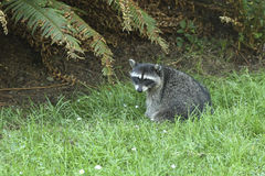Racoon in the grass. Stock Photo
