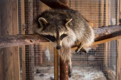 A racoon having rest at noon royalty free stock photo