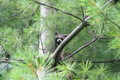 Racoon hiding in a pine tree. A raccoon is hiding up in a pine tree Stock Photography