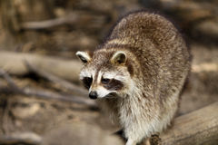 Racoon hunting. In th woods Stock Photo
