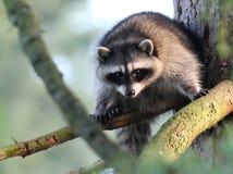 Racoon i en Tree Royaltyfria Bilder