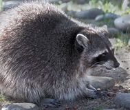 Racoon 5 Royalty Free Stock Photo