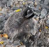 Racoon 8 Royalty Free Stock Photography