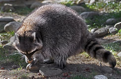 Racoon 14 Stock Photography