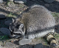 Racoon 15 Royalty Free Stock Images