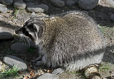 Racoon16 Royalty Free Stock Photo