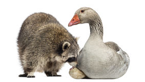 Racoon licking the egg of a Domestic goose sitting on it Royalty Free Stock Photos