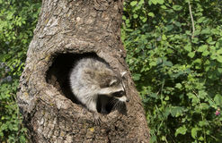 Racoon Looking Out of Hole stock image