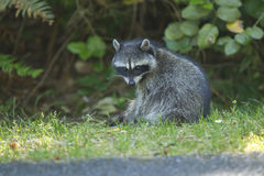Racoon looks at camera. Stock Photos