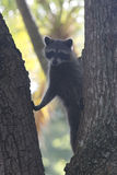 Racoon mammal in the wild Procyon lotor. Racoon carnivore mammal in the wild Procyon lotor Stock Image