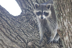 Racoon mammal in the wild Procyon lotor. Racoon carnivore mammal in the wild Procyon lotor Royalty Free Stock Photos