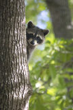 Racoon mammal in the wild Procyon lotor Stock Photos